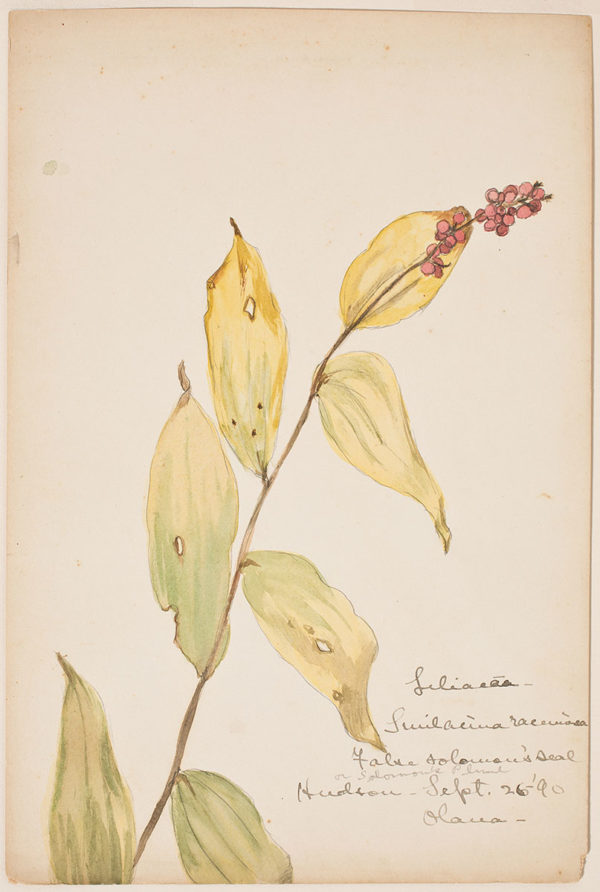 "Isabel Charlotte ""Downie"" Church. Botanical Study of False Solomon's Seal, 1890."